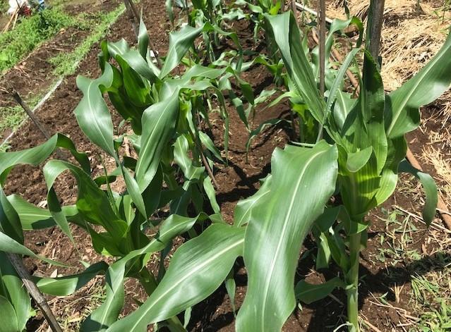 トウモロコシ初収穫、サトイモ追肥・土寄せ6・29~30_c0014967_14122229.jpg
