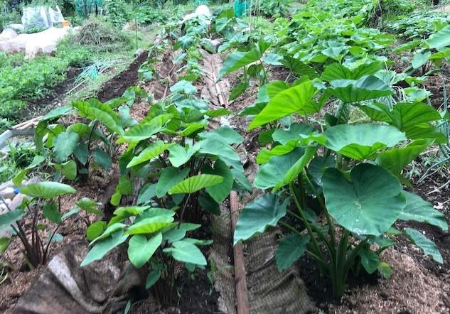 トウモロコシ初収穫、サトイモ追肥・土寄せ6・29~30_c0014967_14131649.jpg