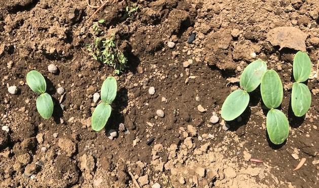 トウモロコシ初収穫、サトイモ追肥・土寄せ6・29~30_c0014967_14143201.jpg