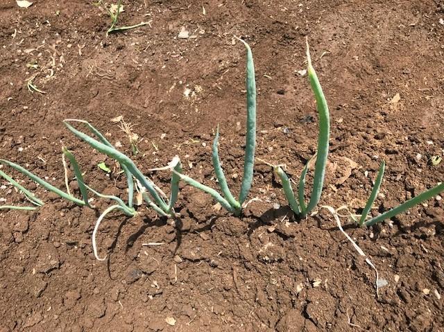 トウモロコシ初収穫、サトイモ追肥・土寄せ6・29~30_c0014967_14155341.jpg