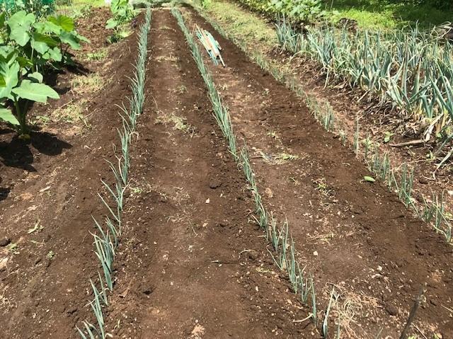 トウモロコシ初収穫、サトイモ追肥・土寄せ6・29~30_c0014967_14160537.jpg