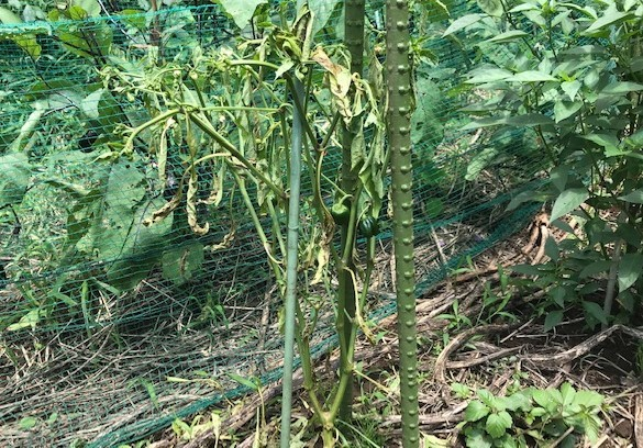 トウモロコシ初収穫、サトイモ追肥・土寄せ6・29~30_c0014967_14163780.jpg