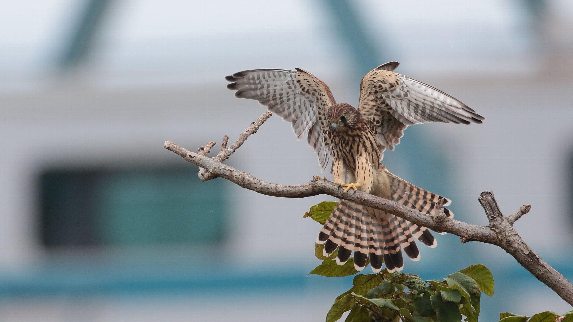 チョウゲンボウ幼鳥の飛び付きもの_f0105570_20592978.jpg