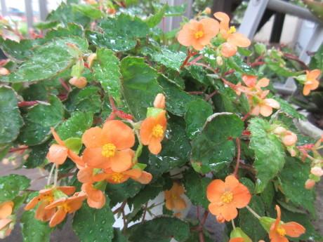 複写はがきというもの・今日の花など_a0203003_07574806.jpg