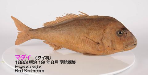 コラムリレー(第152回) 標本の効用 ―お魚くわえたドラ猫?_f0228071_20535207.jpg