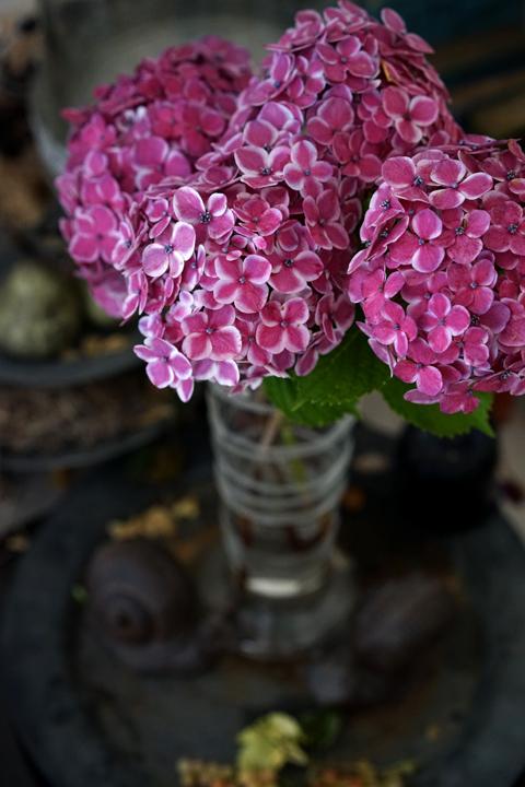 お迎えのお花 アジサイ_f0127281_18194331.jpg