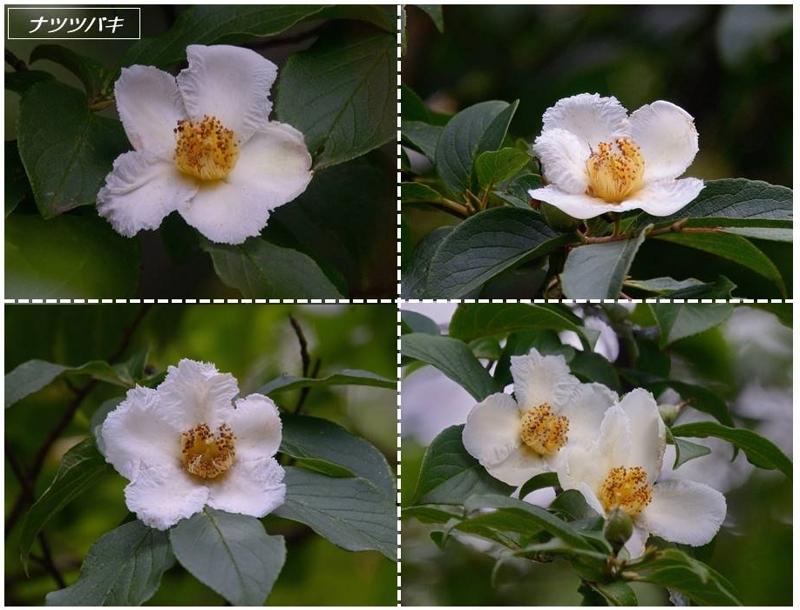 地元公園の一日花たち(ナツツバキ/サガリバナ)_a0204089_22563914.jpg