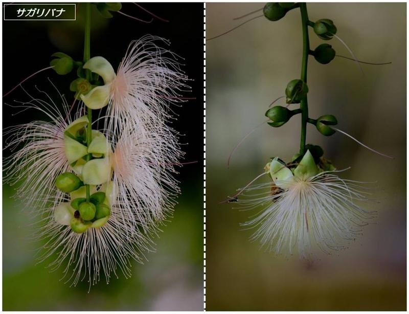 地元公園の一日花たち(ナツツバキ/サガリバナ)_a0204089_22565036.jpg
