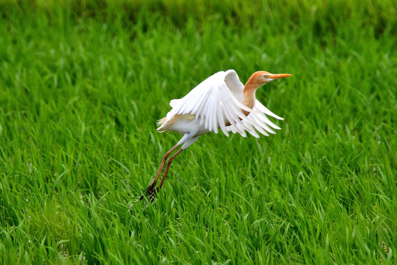アマサギ飛来!_e0362696_17004025.jpg