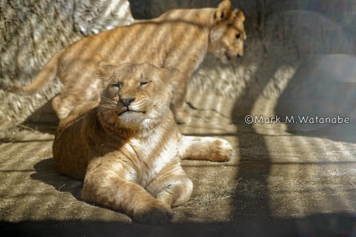 ライオンのきょうだいの思い出_e0135098_23572035.jpg