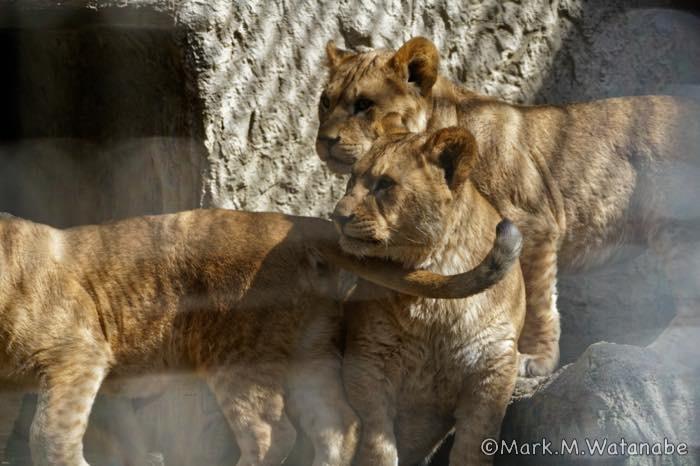 ライオンのきょうだいの思い出_e0135098_23573027.jpg