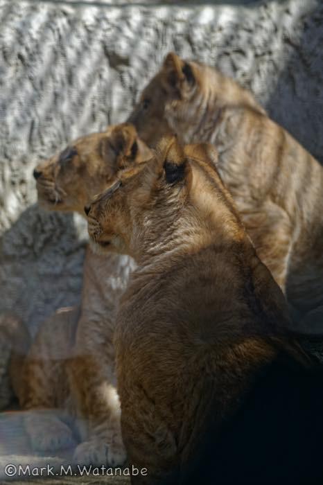 ライオンのきょうだいの思い出_e0135098_23574073.jpg