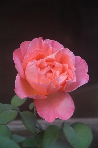 今日の庭  マドモアゼル・メイアン_e0206820_23080023.jpg