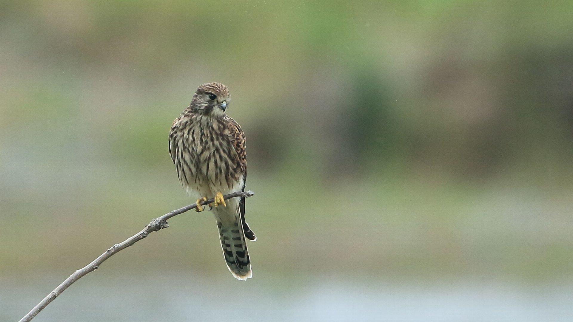 チョウゲンボウ幼鳥が理想的な場所に止まってた!_f0105570_21035603.jpg