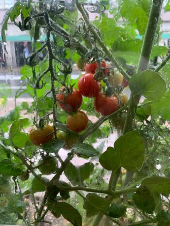 毎日収穫♪♪_a0077071_14553632.jpg