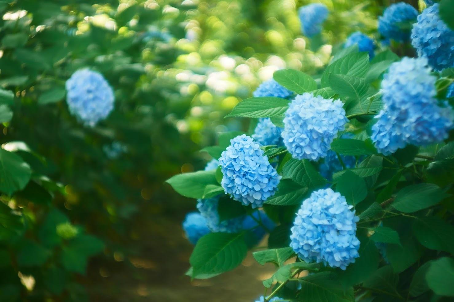 -  あじさいとクチナシの花 -_c0153896_14571665.jpg