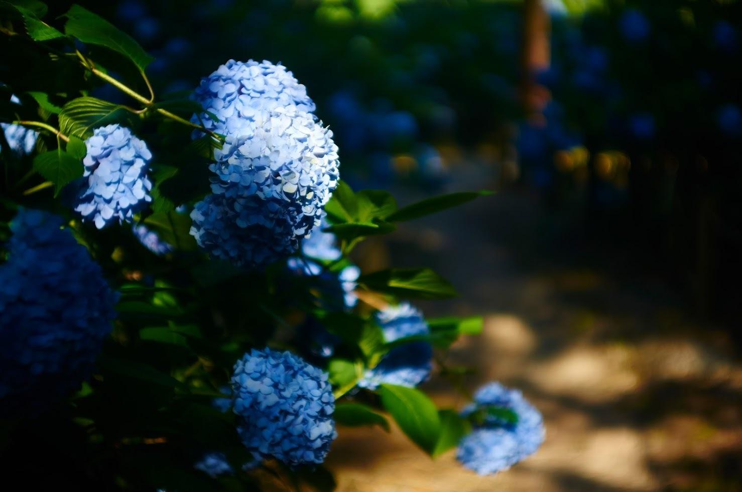 -  あじさいとクチナシの花 -_c0153896_14573149.jpg