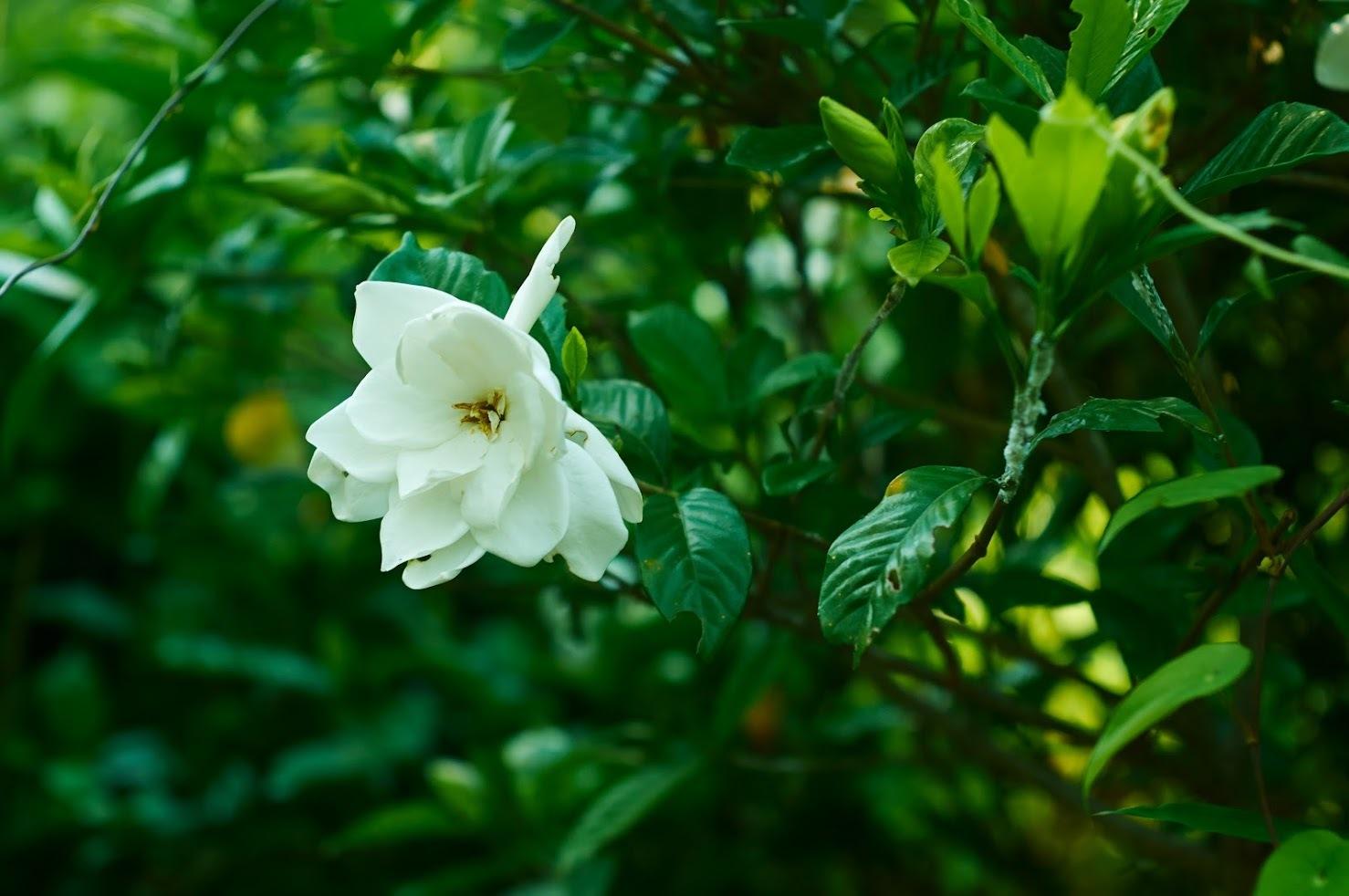 -  あじさいとクチナシの花 -_c0153896_14575098.jpg