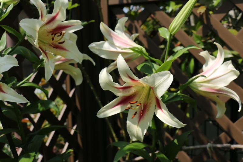 初夏のお花が次々と~_a0123003_22134958.jpg