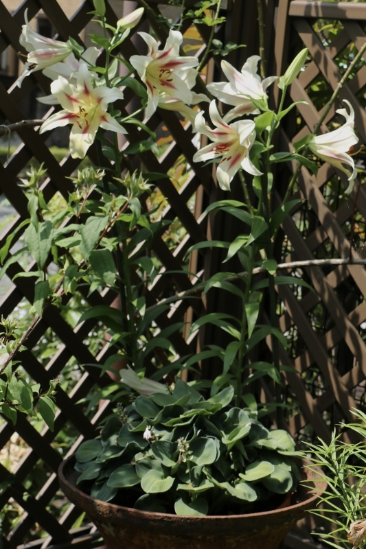 初夏のお花が次々と~_a0123003_22152374.jpg