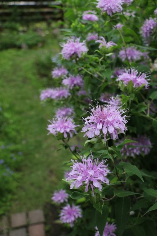 初夏のお花が次々と~_a0123003_22291967.jpg