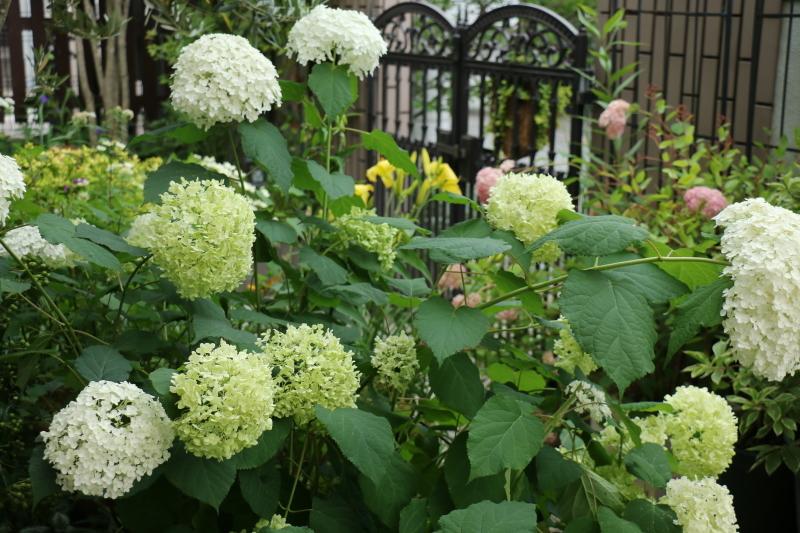 初夏のお花が次々と~_a0123003_22495902.jpg
