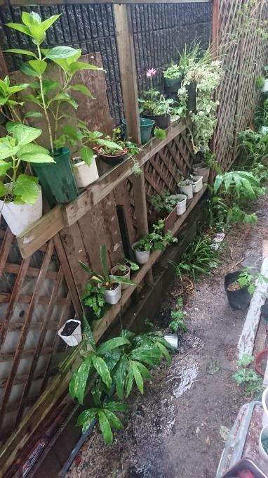 挿し木置き場と胡桃と無花果のスコーン_f0035506_18511336.jpg
