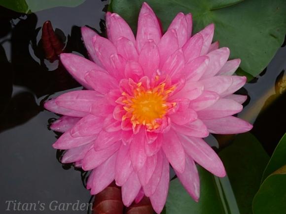 Hardy Water Lily_b0099813_11255948.jpg