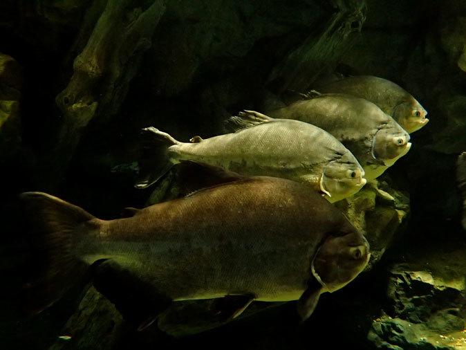 アクアパーク品川「アクアジャングル」~巨大ピラルクとアロワナ軍団_b0355317_20513581.jpg