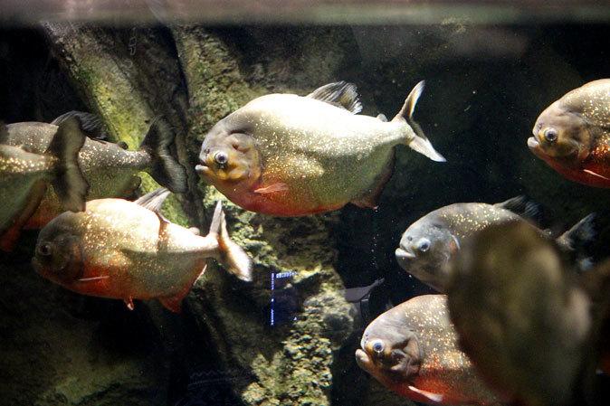 アクアパーク品川「アクアジャングル」~巨大ピラルクとアロワナ軍団_b0355317_21070739.jpg