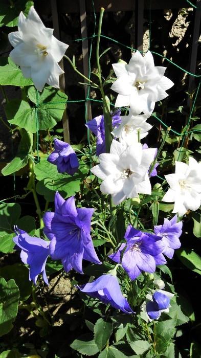 ■園芸【我が家のプランター栽培の花達色々です♪】畑もお花だらけですが^^_b0033423_23114761.jpg