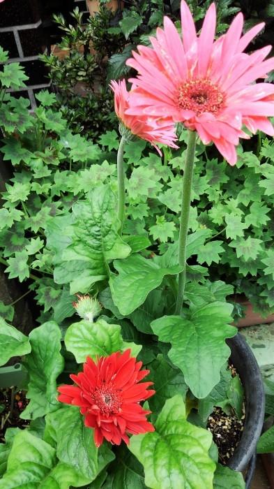 ■園芸【我が家のプランター栽培の花達色々です♪】畑もお花だらけですが^^_b0033423_23202802.jpg