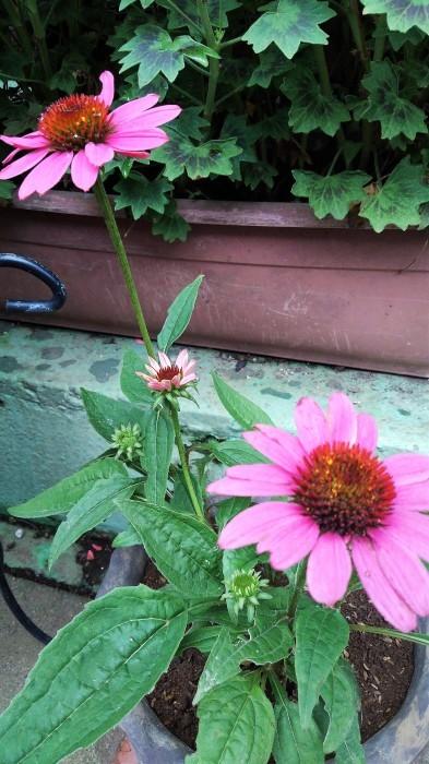 ■園芸【我が家のプランター栽培の花達色々です♪】畑もお花だらけですが^^_b0033423_23225764.jpg