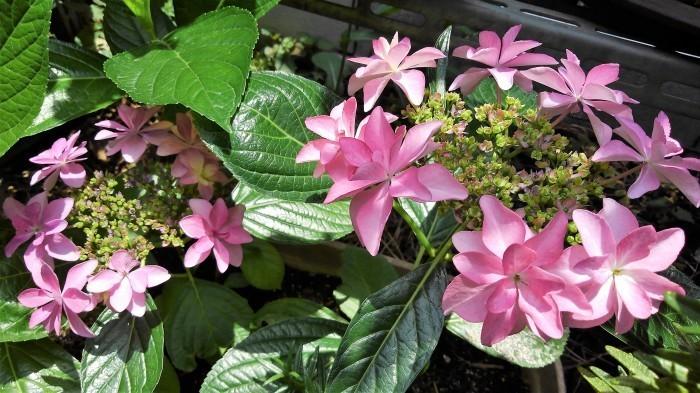 ■園芸【我が家のプランター栽培の花達色々です♪】畑もお花だらけですが^^_b0033423_23381455.jpg