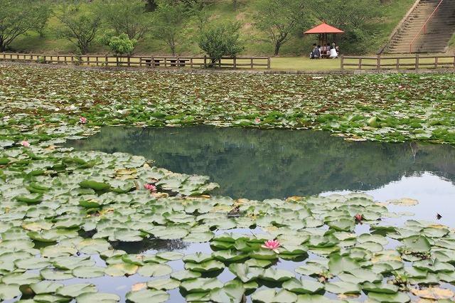 寺谷公園スイレン池散歩(撮影:6月20日)_e0321325_13504803.jpg