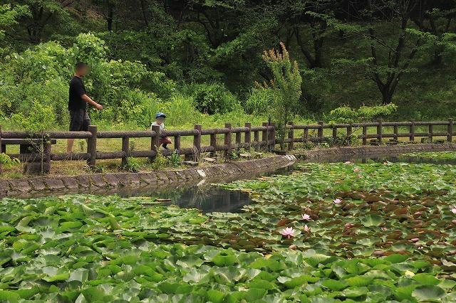 寺谷公園スイレン池散歩(撮影:6月20日)_e0321325_13513848.jpg