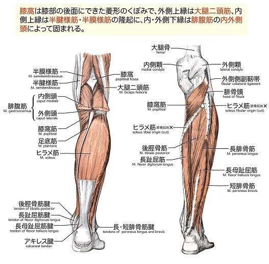 膝窩と腰痛の関連について_c0035230_22412903.jpg