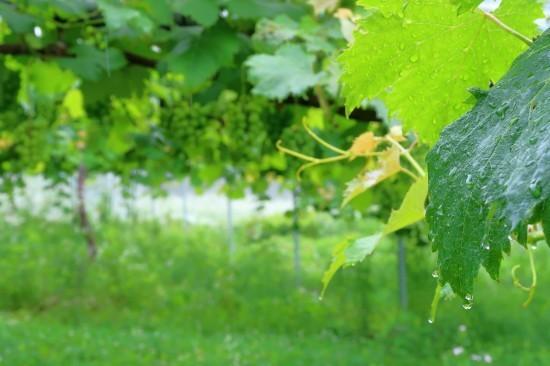 雨の葡萄園_d0336530_17552790.jpg