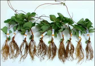 アグリボEX処理がイチゴ苗に与える影響(試験結果)_b0164360_17112825.jpeg
