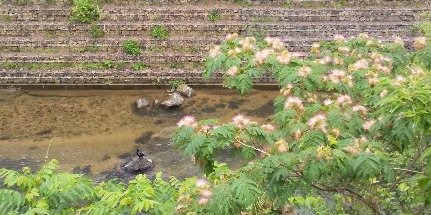 🌂 季節の移ろいが、いっぱい 😊 まちかどカフェ🎤 合歓木 クルミ 紫陽花 川の流れと共に 🌂_f0061067_22320849.jpg