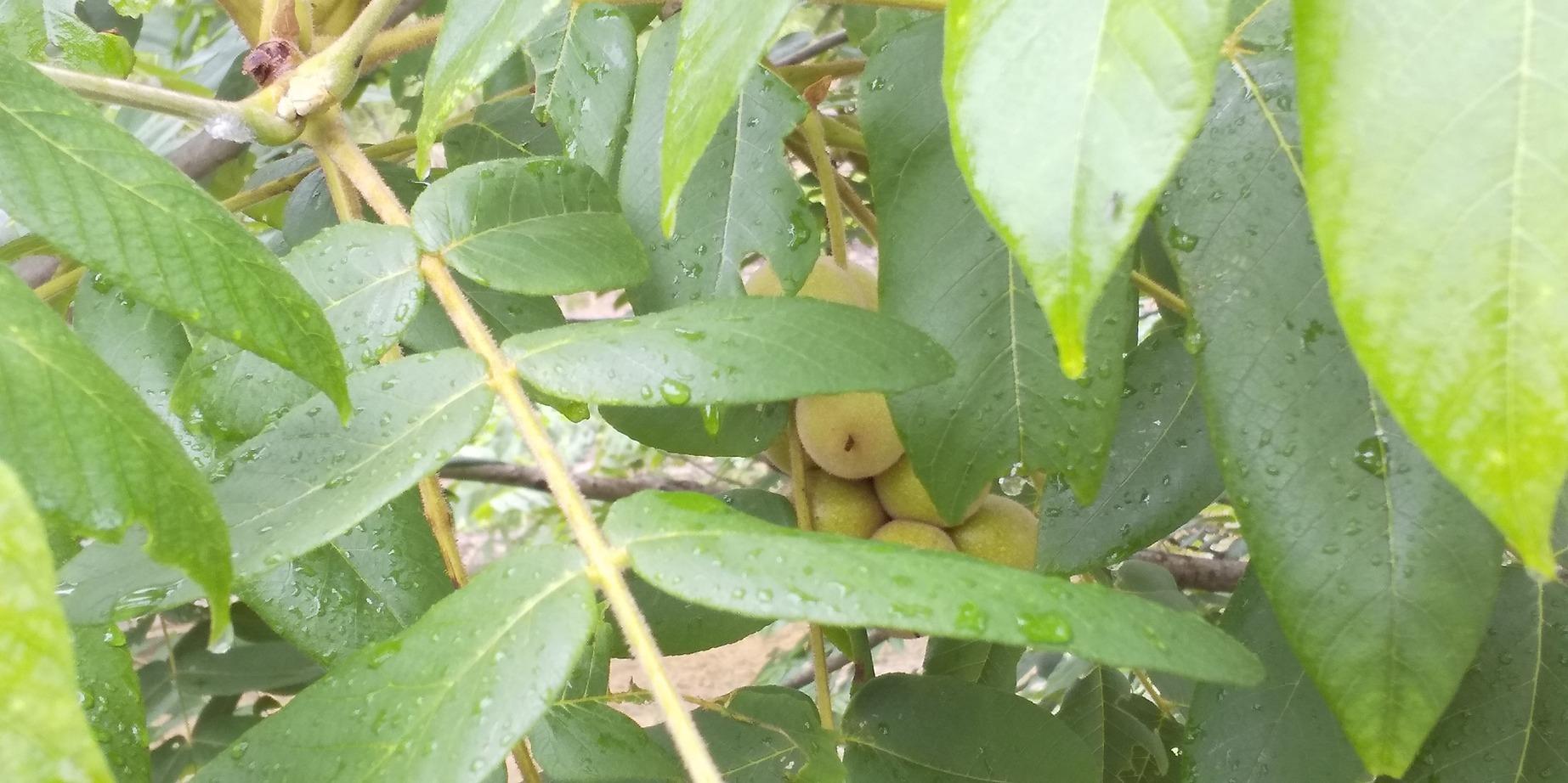 🌂 季節の移ろいが、いっぱい 😊 まちかどカフェ🎤 合歓木 クルミ 紫陽花 川の流れと共に 🌂_f0061067_22320874.jpg