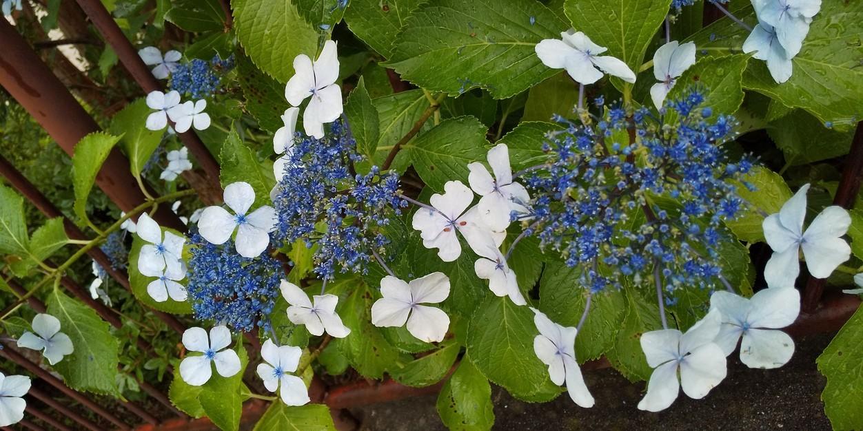 🌂 季節の移ろいが、いっぱい 😊 まちかどカフェ🎤 合歓木 クルミ 紫陽花 川の流れと共に 🌂_f0061067_22320898.jpg