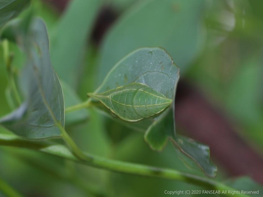 アオスジアゲハ蛹の擬態(6月中旬)_f0090680_10533269.jpg