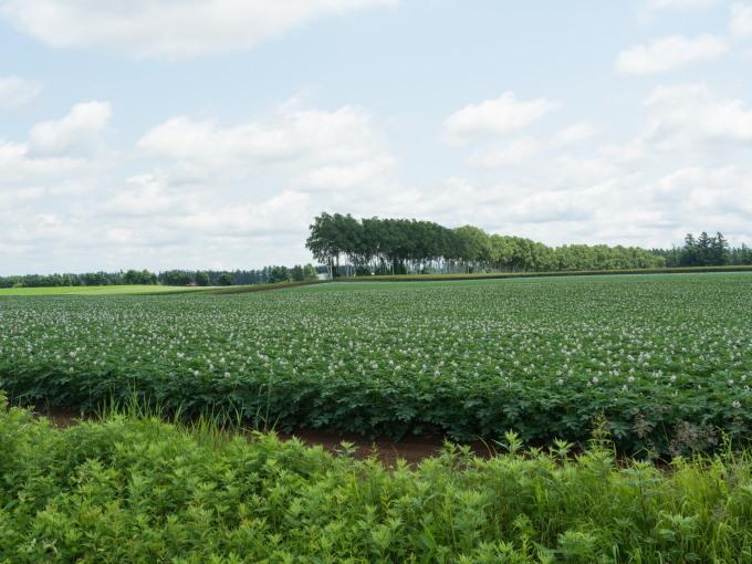 久し振りの晴れ間・・ジャガイモ畑は花畑になって来ましたね!_f0276498_17131956.jpg