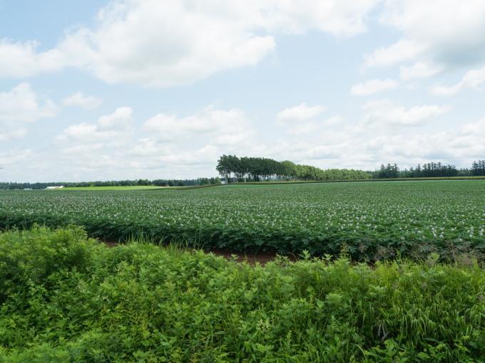 久し振りの晴れ間・・ジャガイモ畑は花畑になって来ましたね!_f0276498_17133346.jpg