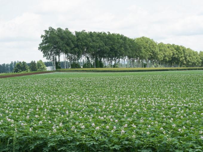 久し振りの晴れ間・・ジャガイモ畑は花畑になって来ましたね!_f0276498_17134395.jpg