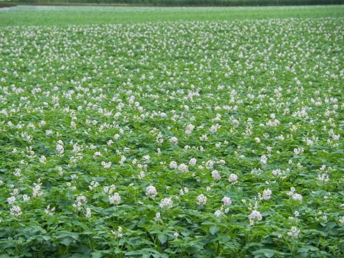 久し振りの晴れ間・・ジャガイモ畑は花畑になって来ましたね!_f0276498_17135216.jpg