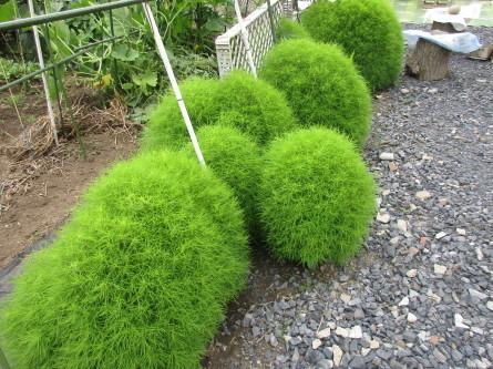 1020)夏野菜が採れ出しました。_b0029010_13454911.jpg