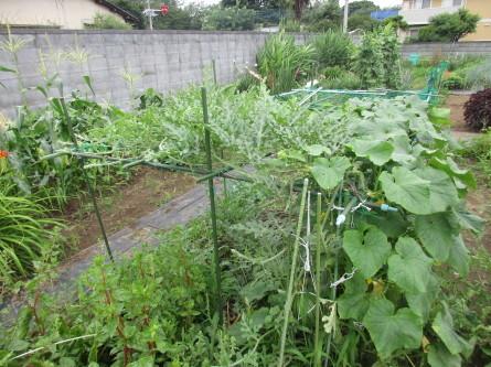 1020)夏野菜が採れ出しました。_b0029010_13530558.jpg