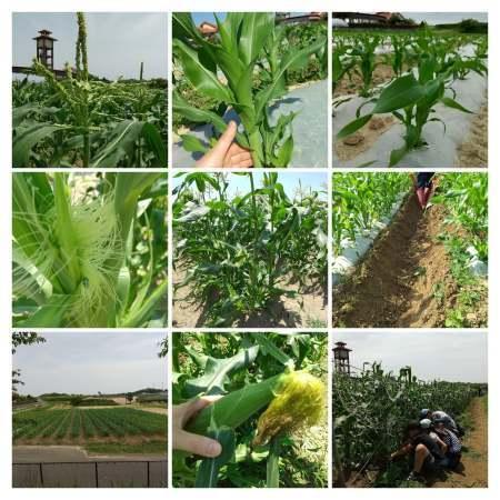 トウモロコシ収穫体験_d0120421_08183477.jpg